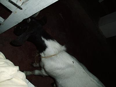 Kun i blitz lyset kunne vi se at der rent faktisk stod en ged og stangede Mollys stol.