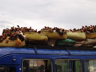 Hellere 1000 høns på taget end et tag i hønen?