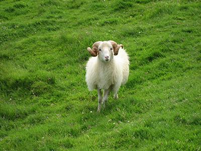 Knuthenborg fårepark?