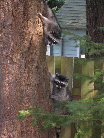 Vores egne vaskebjørne, ja, ja så kalder vi dem da skadedyr, men supernuttede skadedyr.